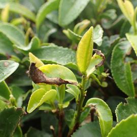 チャノミドリヒメヨコバイ(ウンカ)赤葉枯れ症状