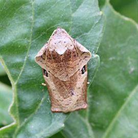 チャハマキ雄成虫(雌よりやや小さく前翅前部はえらのように上にそっている)