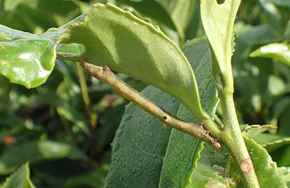 ヨモギエダシャク(シャクトリムシ)幼虫